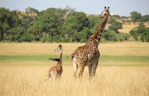 summit-kenya-giraffes